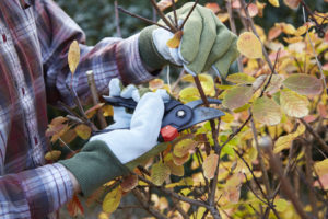 Jamaica Plains Fall Bush Being Pruned