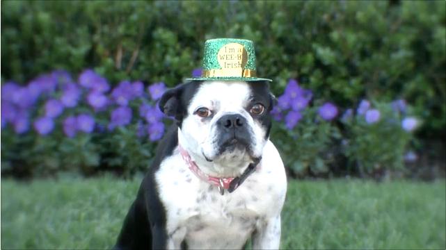 St. Patricks Day (Smiling Dog) Concerned Dog Citizen