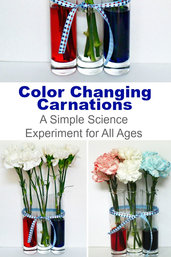 Set up this simple science, color changing carnations and watch your kid's eyes widen! With only a few supplies, you can start this experiment today. #science #scienceforkids #experimentsforkids #flowerexperiments #nature #colortheory #carnations #simplescience #rufflesandrainboots