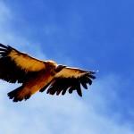 Himalayan Griffon vulture_balari top- Purvash Jha_Rustik_Travel_1349_550