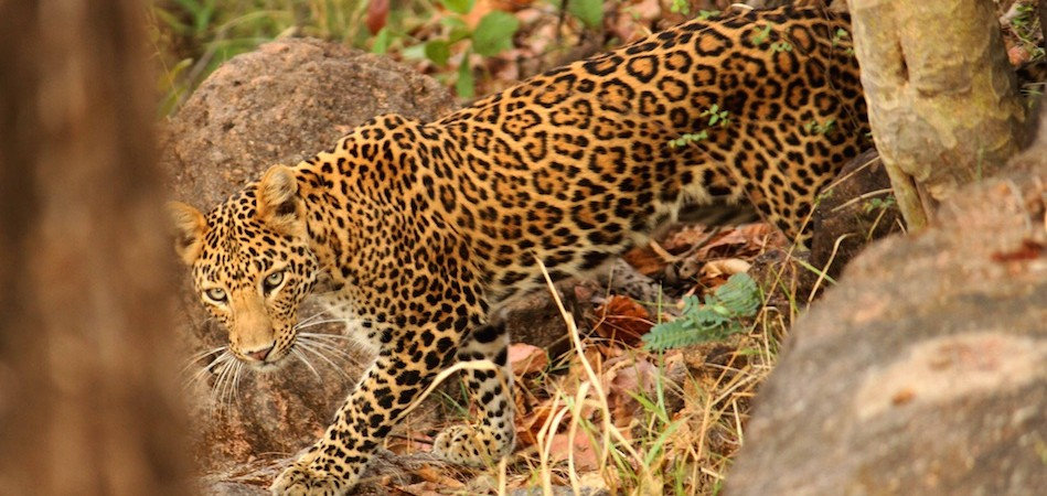 Leopard in Satpura National Park