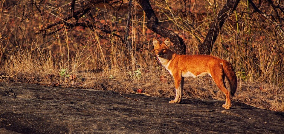 Wild Dog in Satpura National Park