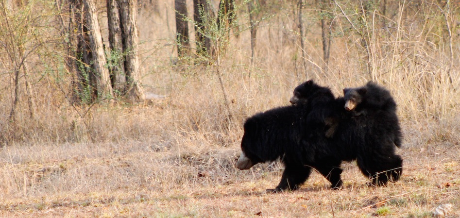 Bear Cubs_Corbett_Rustik Travel