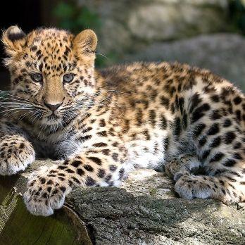 Amur leopard image 0