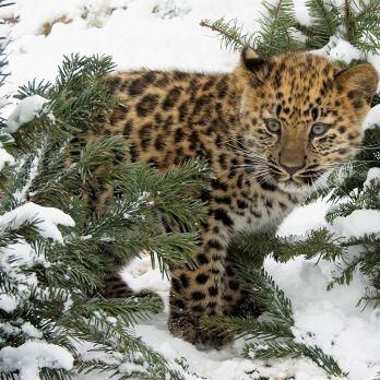 Amur leopard image 1