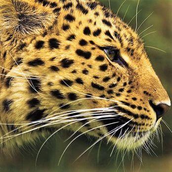 Amur leopard image 10