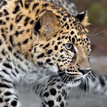 Amur leopard image 11