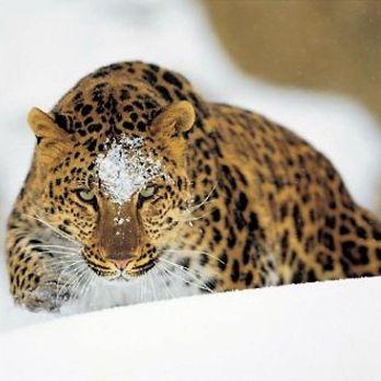 Amur leopard image 12