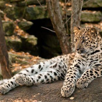 Amur leopard image 13