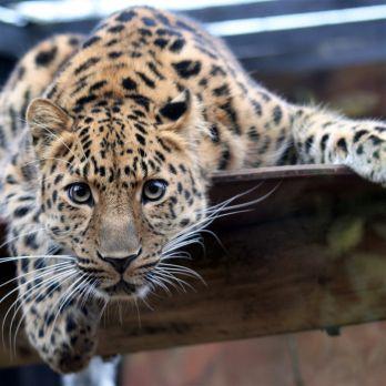 Amur leopard image 14