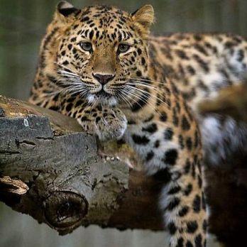 Amur leopard image 16