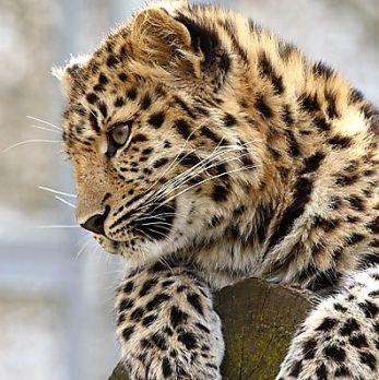 Amur leopard image 17