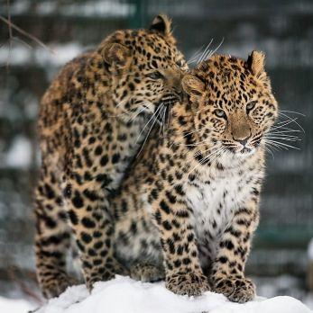 Amur leopard image 18