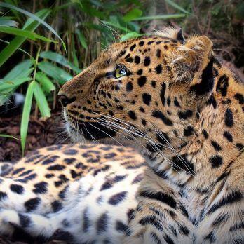Amur leopard image 19