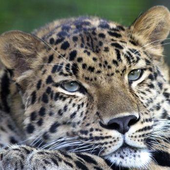 Amur leopard image 2
