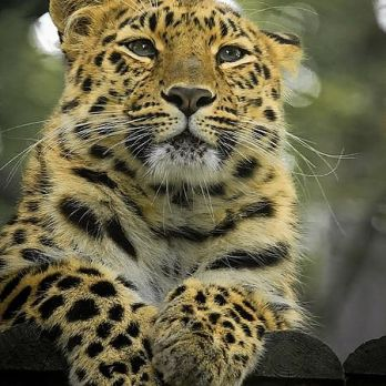 Amur leopard image 20