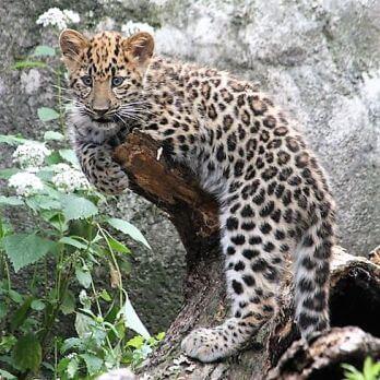 Amur leopard image 22