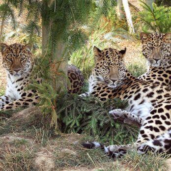 Amur leopard image 23