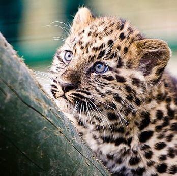 Amur leopard image 24