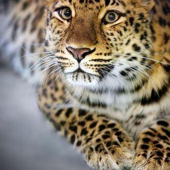 Amur leopard image 25