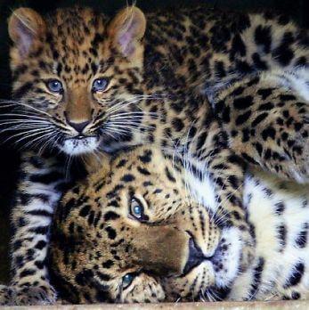 Amur leopard image 26