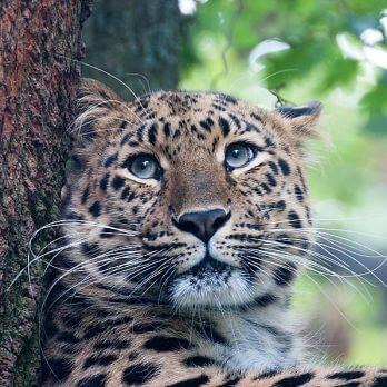 Amur leopard image 27