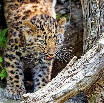 Amur leopard image 28