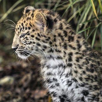 Amur leopard image 29