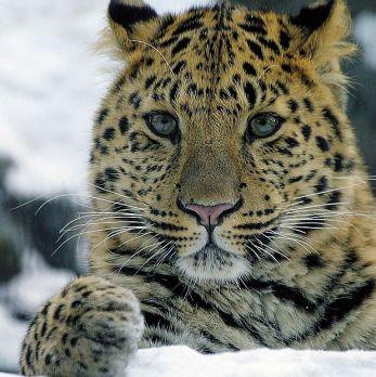Amur leopard image 3