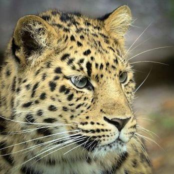Amur leopard image 30