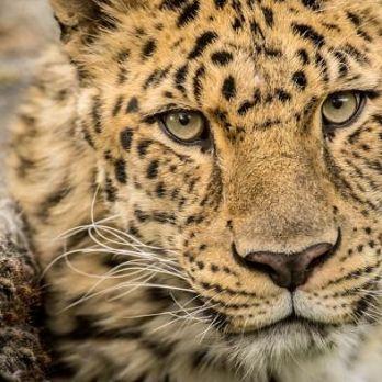 Amur leopard image 31