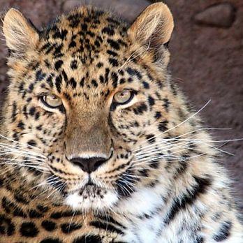 Amur leopard image 32