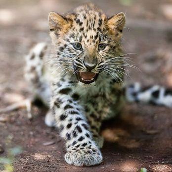 Amur leopard image 33