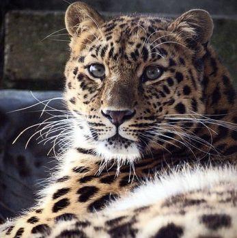 Amur leopard image 34