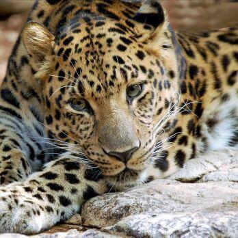 Amur leopard image 4