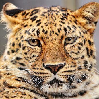 Amur leopard image 5