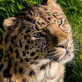 Amur leopard image 6