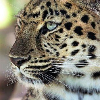 Amur leopard image 8