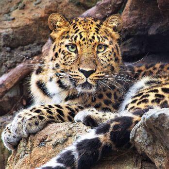 Amur leopard image 9