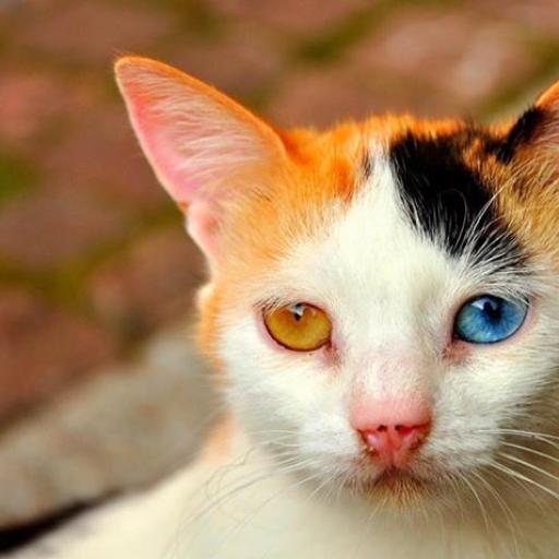 Grey fur orange eyes cat