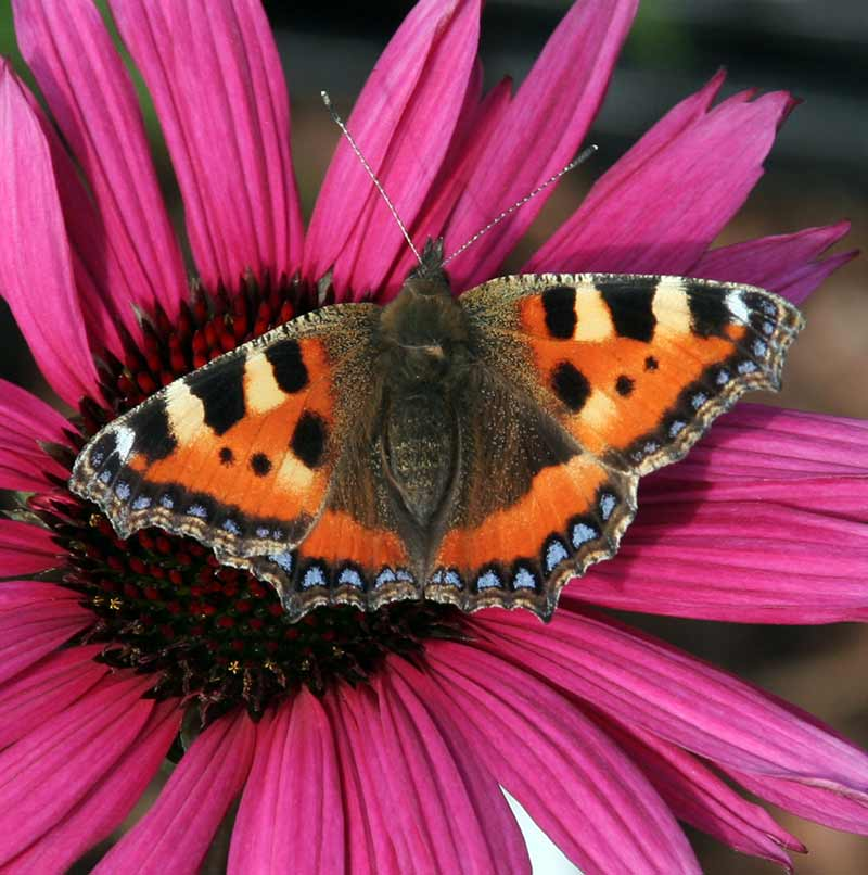 Photograph of a butterfly on a purple flower