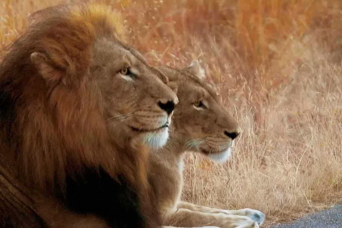 A photograph of a sitting lion and lioness in profile