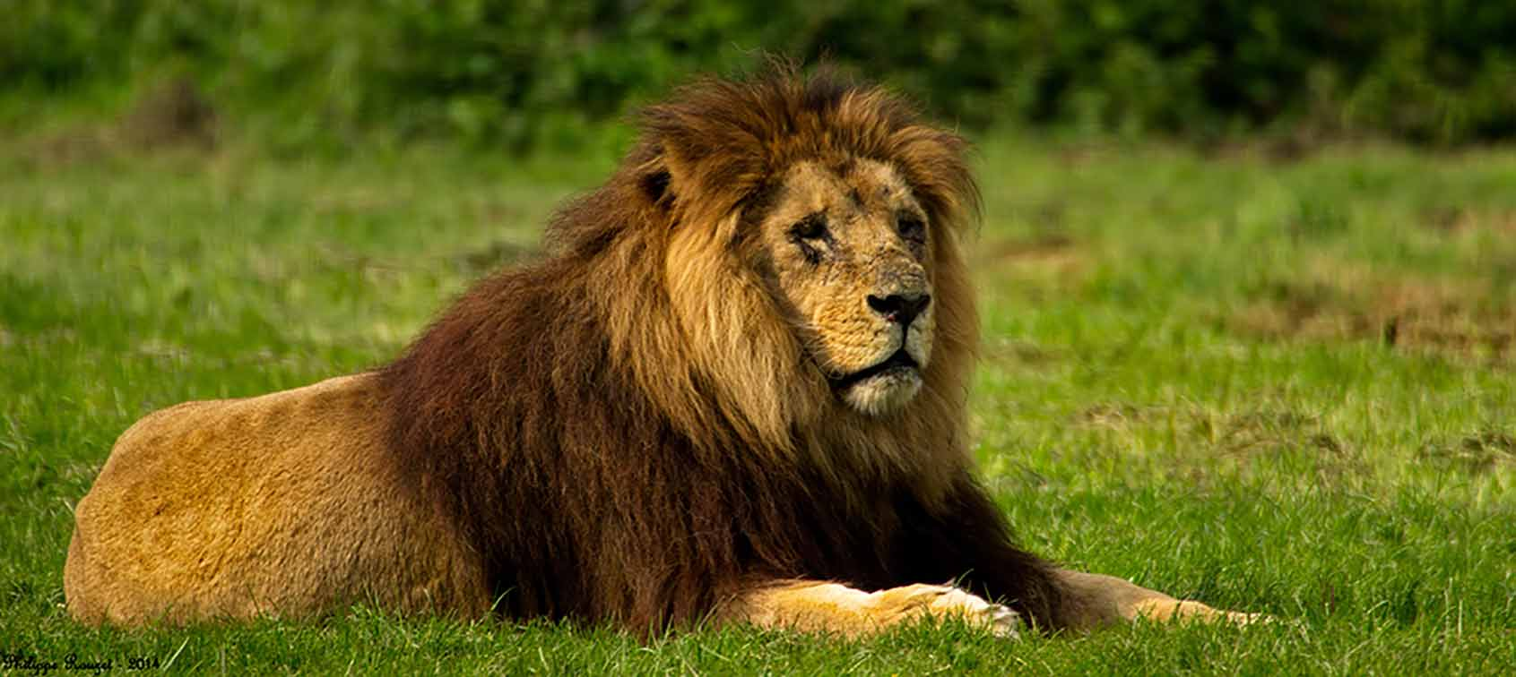Photograph of a male lion lying on green grass