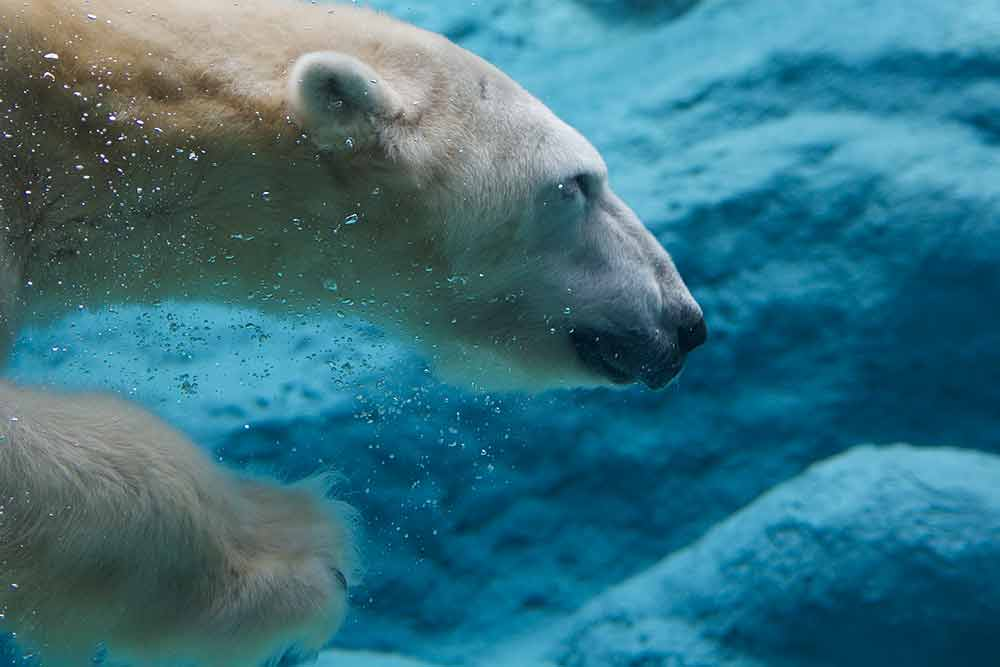 A closeup of the head of a swimming polar bear, shot underwater