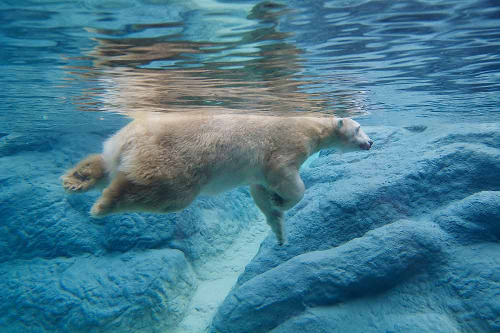 Photograph of a swimming polar bear, shot from underwater and underneath