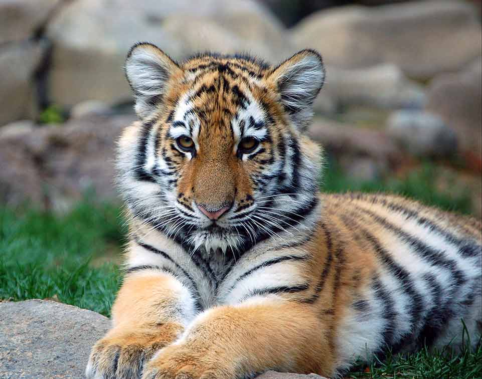 A photograph of a sitting tiger cub