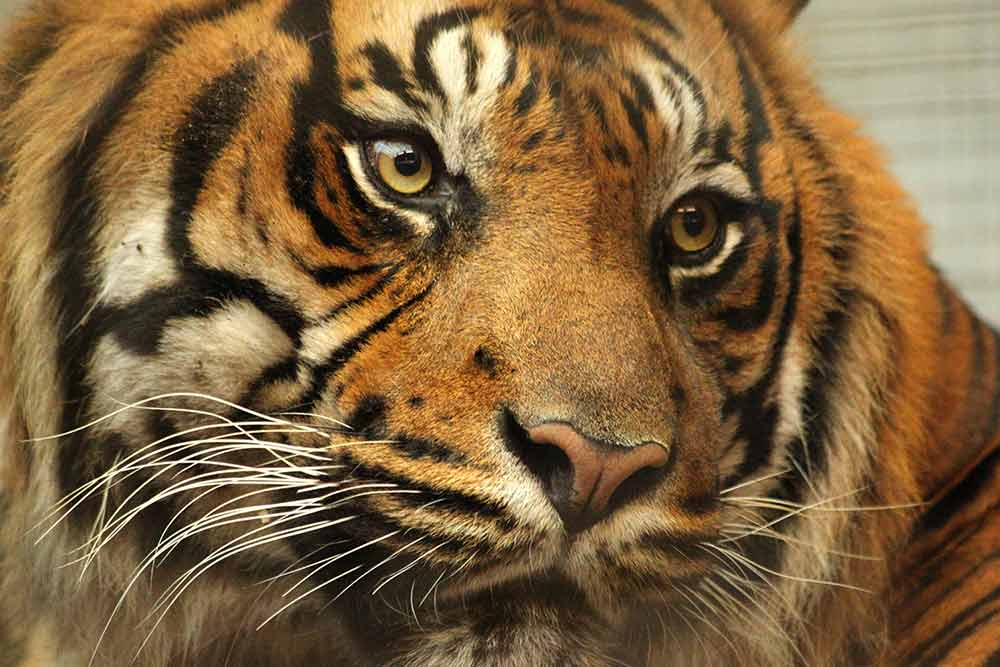 Closeup photograph of a tiger