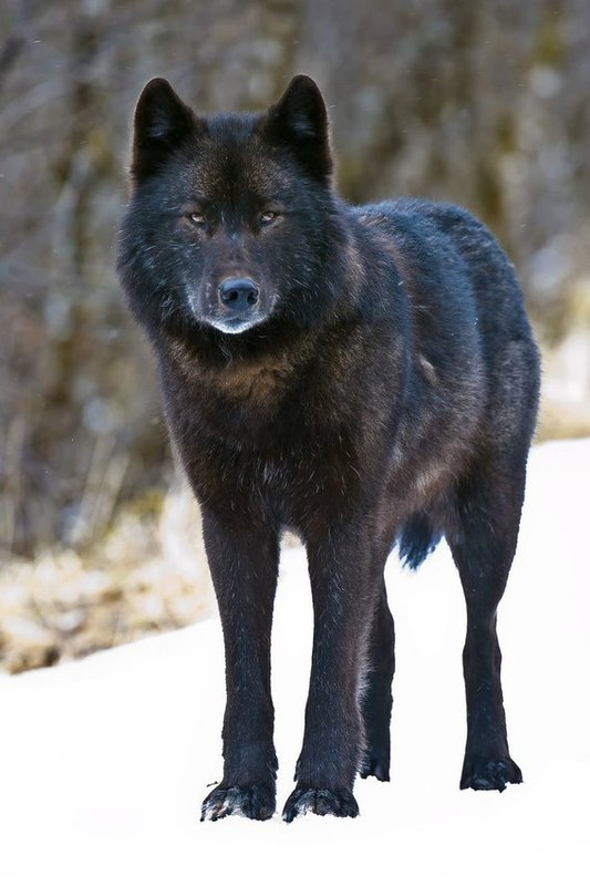 Endangered Species Protections Sought for Rare Wolf in Southeast Alaska – Alexander Archipelago Wolves Threatened by Trapping, Forest Clearcutting