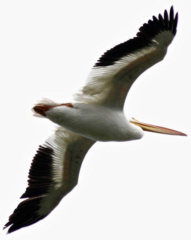 American_white_pelican_Robert_Burton_USFWS_FPWC.jpg