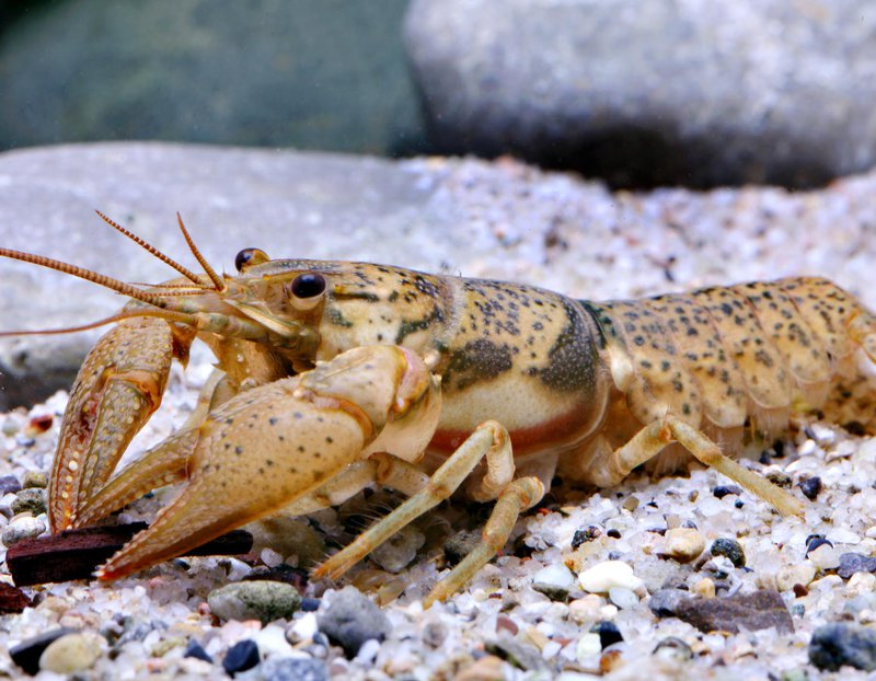 Big_creek_crayfish_Missouri_Department_of_Conservation_FPWC.jpg